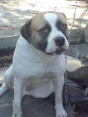 Bulldog Cross Presa Canario