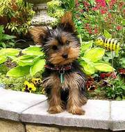 Yorkshire terrier male for urgent adoption