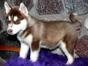 Beautiful kc siberian husky pups for sale