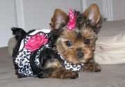 Adorable Yorkie Puppy for great families