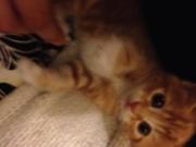 Ginger 8weeks old kitten for sale