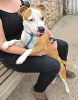 YODA IS A FRIENDLY LITTLE STAFF CROSS NEEDING SOME LOVE FOR SALE.