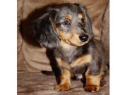adorable and potty train   daschund puppies for rehoming