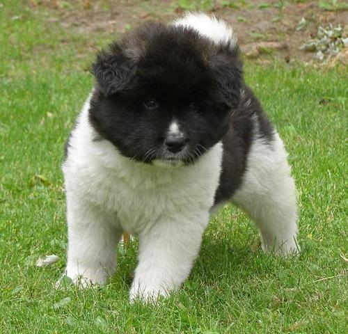 Akita Puppies for Sale. Slough Dogs for sale, puppies for sale