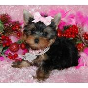 cute yorkie puppies for sale
